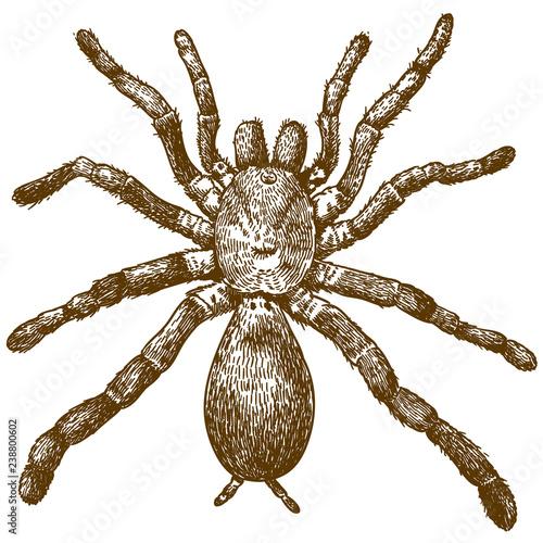 engraving illustration of king baboon spider