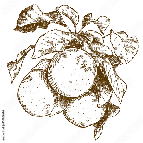 Photo engraving three apples on branch
