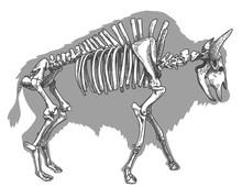 Engraving Illustration Of Bison Skeleton