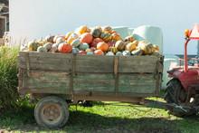 Pumpkin Hrvest On The Tactor In Village