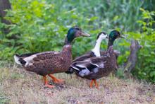 Three Ducks Walking On Dry Grass