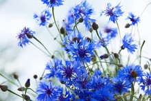 Blue Flowers Of Cornflowers