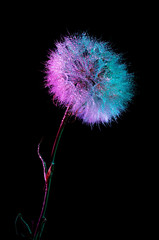 A dandelion on a long stem on a black background in bright gradient holographic tones. Colorful minimalism.