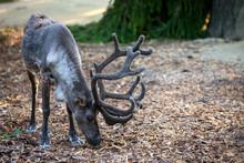 The Reindeer (lat. Rangifer Ta...