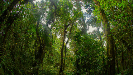View of trees full of foliage in the cloud forest in the northwestern part of the province of Pichincha - Ecuador