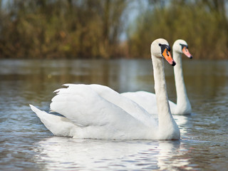 white swans on the river.