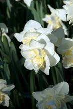 Narcissus White Lion - Narcisse