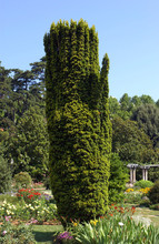 Taxus Baccata Fastigiata Aurea