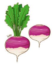 Turnip Fresh Vegetable Hand Dr...