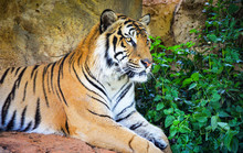 Bengal Tiger Lying On The Rock...