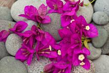 Brilliant Pink Bougainvillea Blossom On Grey Pebble
