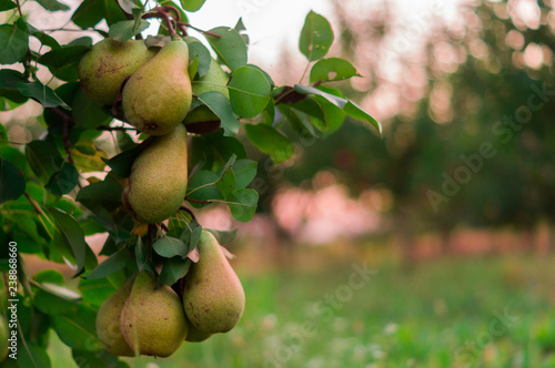 Photo Pear fruit garden with grown sweet green pears