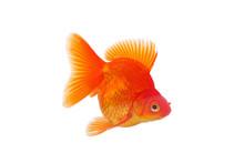 Gold Fish Isolated On White Background. Japanese Red Ryukin Goldfish.