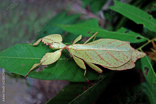 Valokuva Leaf insect (Phyllium westwoodii), Green leaf insect or Walking leaves are camouflaged to take on the appearance of leaves, rare and protected