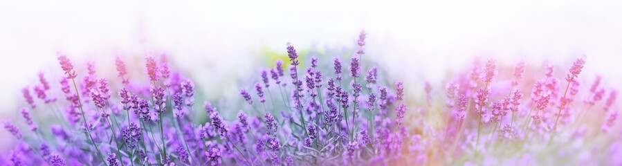 Selective and soft focus on lavender flower, beautiful lavender flower in summer