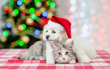 Bichon Frise Puppy In Red Santa Hat Embracing A Cat With  Christmas Tree On A Background