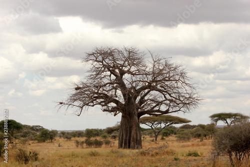 a beautiful baobab tree in the Serengeti, Tanzania