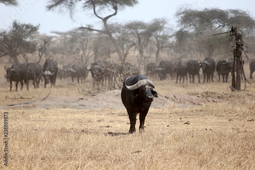 Photo  a water buffalo breaks from the herd in the Serengeti, Tanzania
