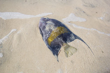 Dead Fish Washed Up On Shore Sea