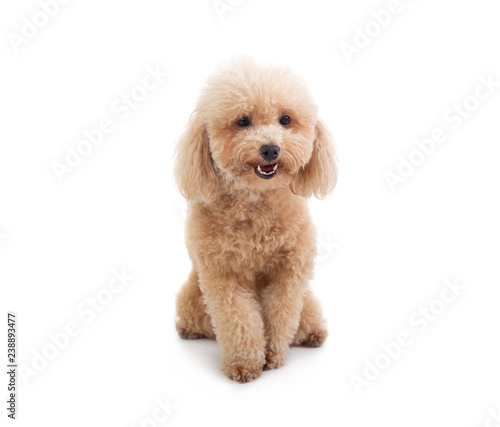 cute curly-haired poodle looking at camera Poster Mural XXL