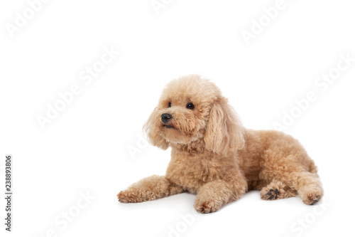 curly-haired poodle lying on the floor Poster Mural XXL