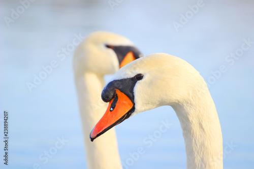 Swan's close up