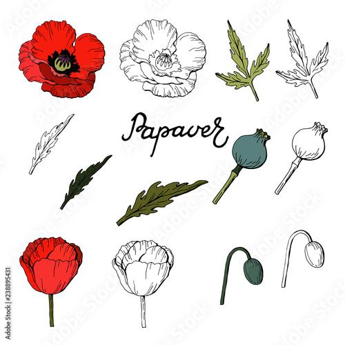 Fototapeta Set of Hand drawn elements of Poppies,Vector obraz