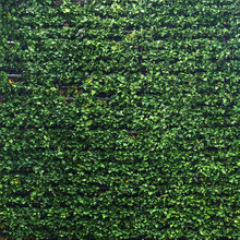 Vertical Garden Lush Green Wall Pattern Surface Texture. Close-up Of Exterior Natural Material For Design Decoration Background
