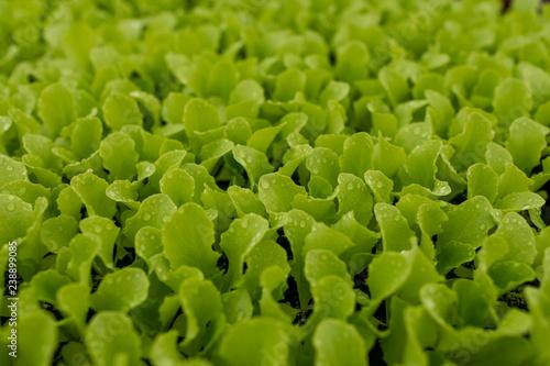 Almácigo de lechugas - Buy this stock photo and explore