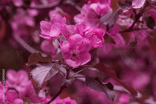 spring flowers on branches of a plum tree