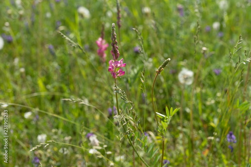 Meadow flower Sainfoin (Onobrychis viciifolia) grows in a field on a green background of miscellaneous herbs Canvas Print