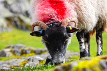 Grazing sheep near Buttermere in the Lake District