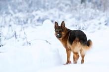 Shepherd Dog In Winter In The Snow