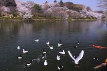 湖岸に集まった鳥と鯉