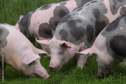 Fényképezés  Herd of pigs on summer pasture