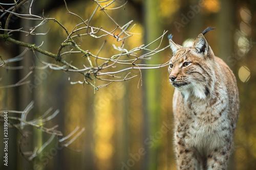 Eurasian Lynx (Lynx lynx) #238936844