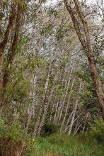 Tall Birch Trees Behind Overgr...