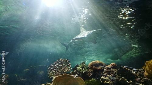 Fotografie, Obraz  Tiburón y corales marinos