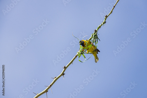 Black-headed Weaver or Village Weaver bird (Ploceus