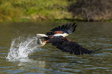 African Fish Eagle (Haliaeetus...