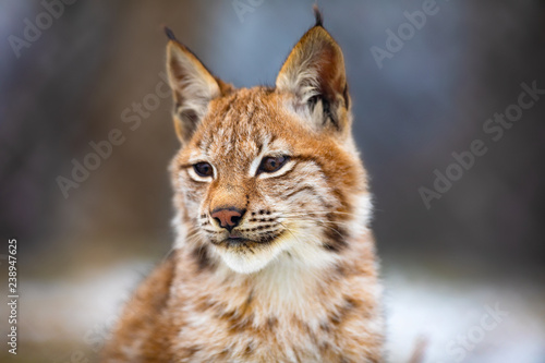 Obraz na płótnie Portrait of eurasian lynx in the forest at early winter
