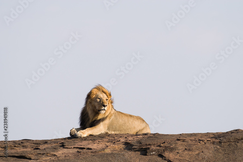 Fototapety, obrazy: Male Lion (panthera leo) Searching For Mate