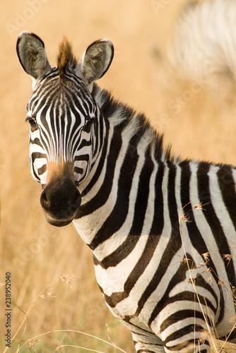 Cadres-photo bureau Zebra Lone Plains Zebra (Equus quagga), Maasai Mara, Kenya