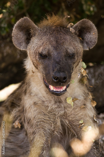 Deurstickers Hyena Hyena Resting in Shade