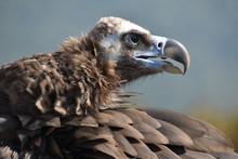 Portrait Of Vulture In Profile