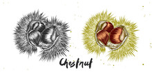 Vector Engraved Style Illustration For Posters, Decoration, Label, Packaging And Print. Hand Drawn Sketch Of Chestnut In Monochrome And Colorful. Detailed Vegetarian Food Drawing.