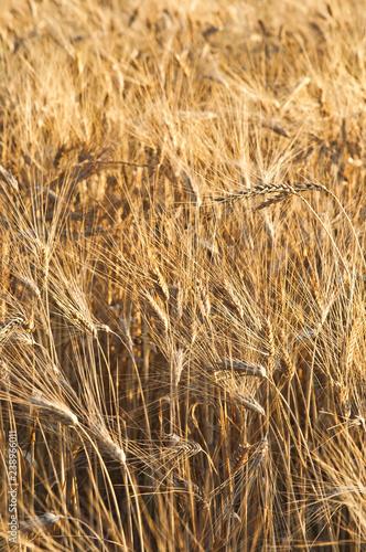 Fotografie, Obraz  La bontà della natura - Spighe di grano