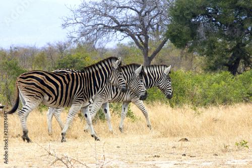 Photo  Three Zebras walking in tandem