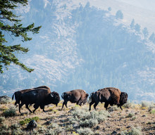 Bison In Lamar Valley, Yellowstone National Park, Wyoming