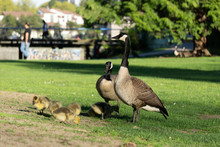Two Geese And With Goslings On Green Field In The Park.